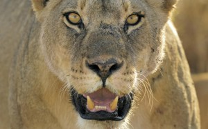 """LIVE LIKE A LION...not a lamb"""